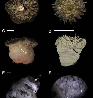 Se incrementaron especies de anémonas de mar en el Pacífico mexicano