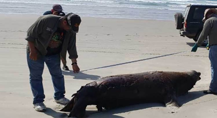 Fueron 137 los lobos marinos varados en la Bahía de Ulloa