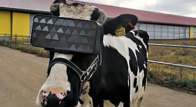 Colocan lentes de Realidad Virtual a las vacas