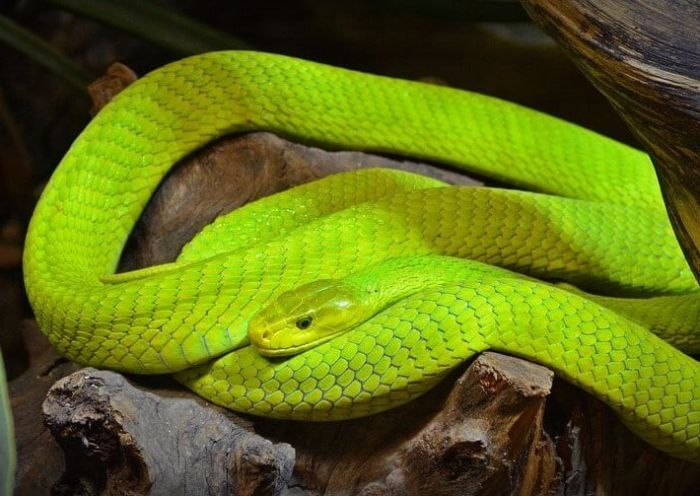 Ular Mamba Hijau yang merupakan ular berbisa