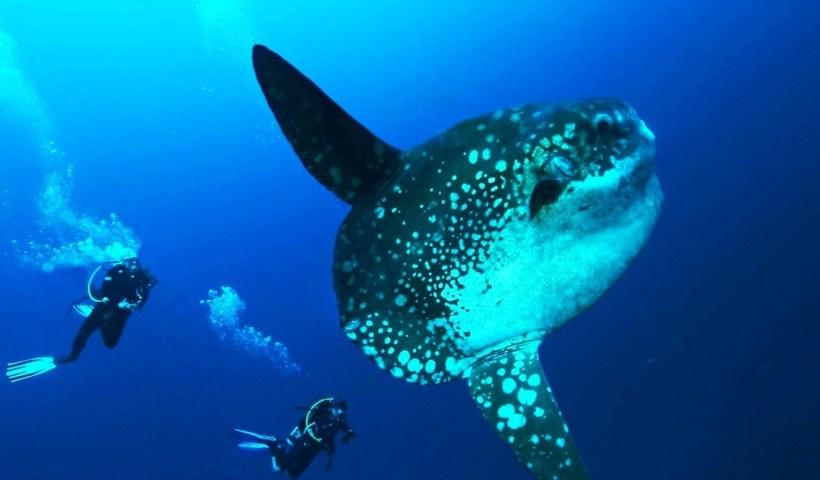 Diving dengan Ikan Mola Mola di Bali