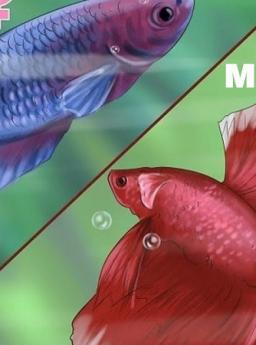 Cara Membedakan Ikan Cupang Jantan dan Betina untuk Pemula