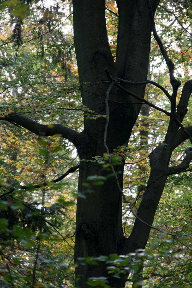 common-wood-5