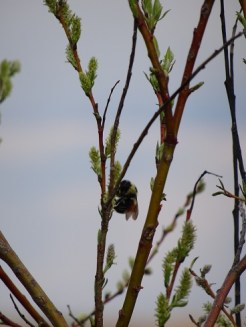 Bumblebee on Willow