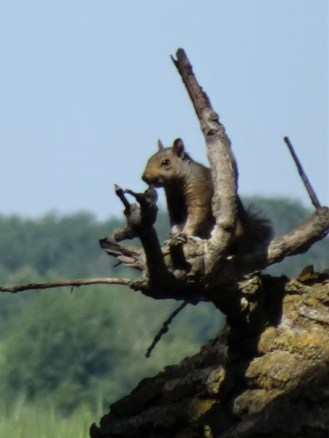 Squirrel on Cottonwood Trunk