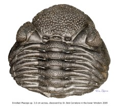 Enrolled Phacops, 3.0 cm across, discovered by Dr. Bob Corretore in the lower Windom Shale in 2009.