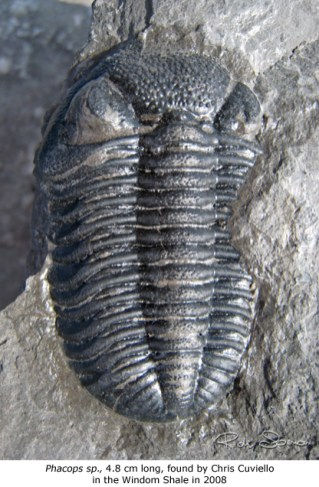 Phacops, 4.8 cm long found by Chris Cuviello in the Windom Shale in 2008.