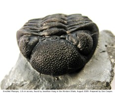 Enrolled Phacops, 1.8 cm across. Found by Jonathan Hoag in the Windom Shale in 2009. Prepared by Dan Cooper.