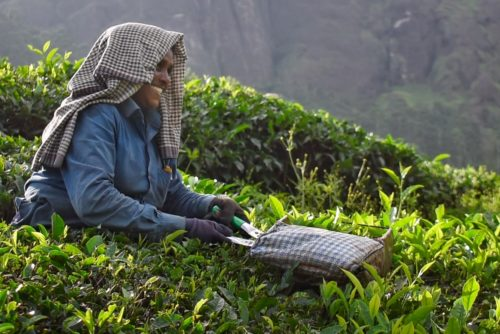 Farmer lady at Pallivasal Tea Estate
