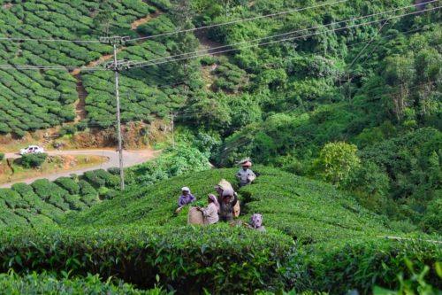 at Pallivasal Tea Estate