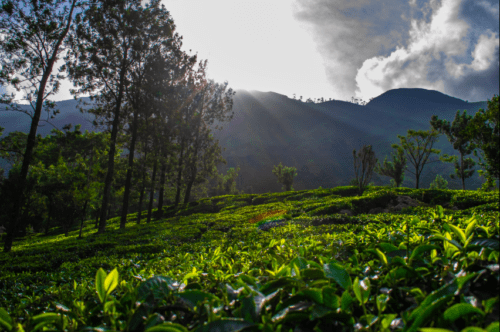 Tea Gardens with the sun shining above