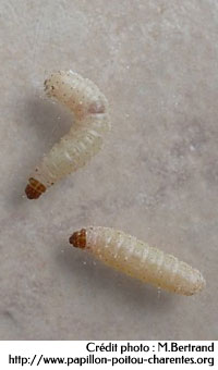 Comment exterminer les mouches et leurs asticots partout
