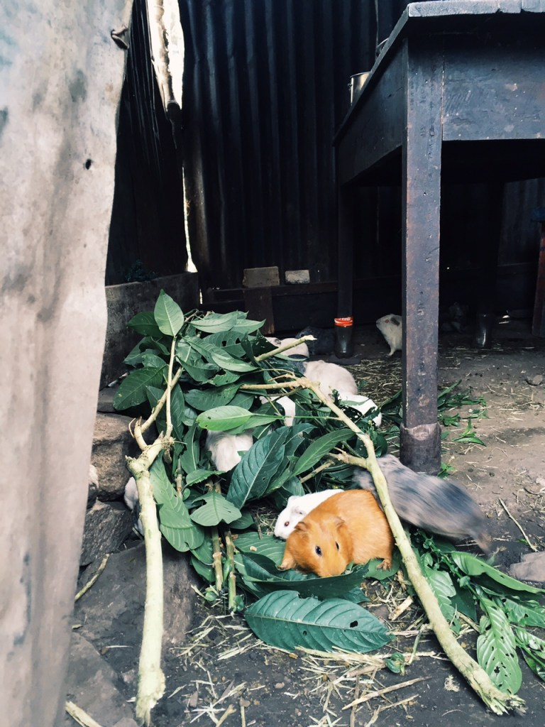 Junildina's guinea pigs eating coffee leaves