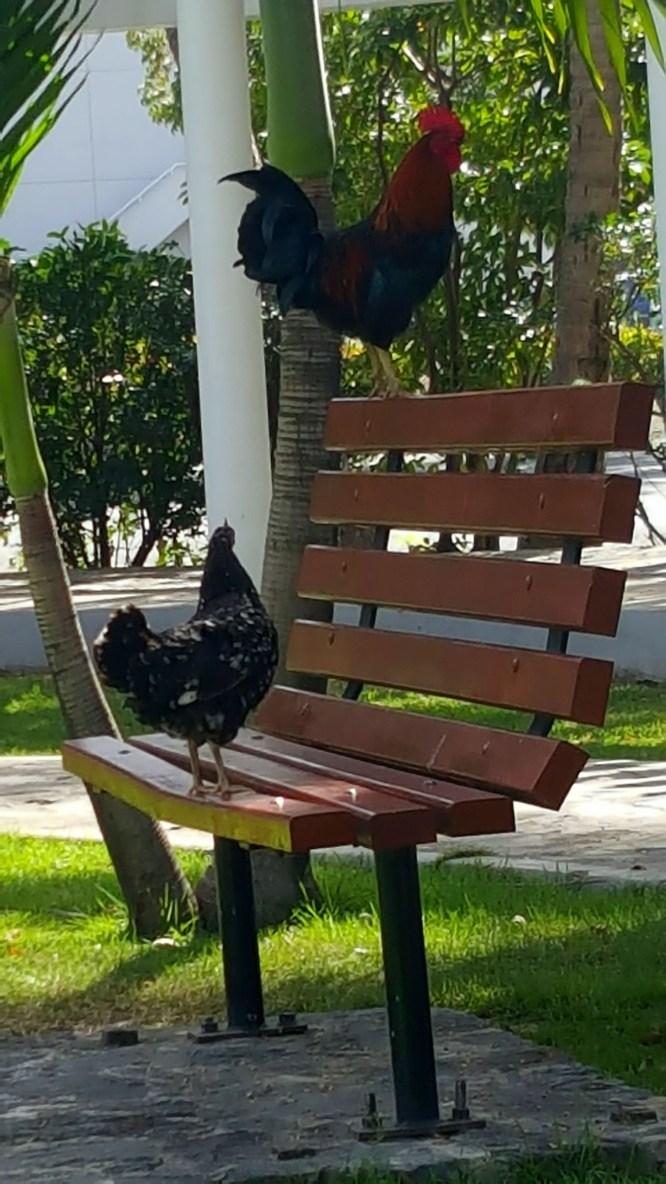 SittingRooster