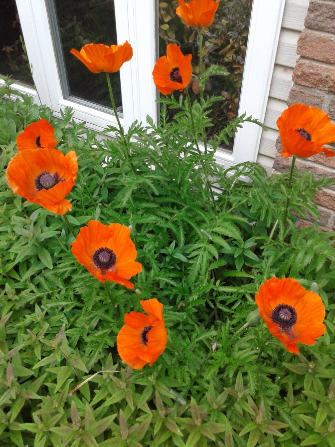 Poppies on display