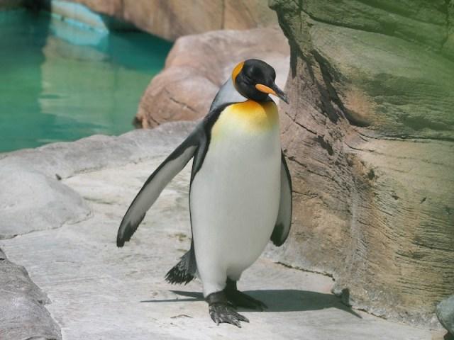 東山動植物園 オウサマペンギン