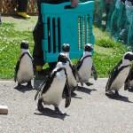 名古屋港水族館 ペンギンよちよちウォーク
