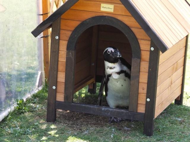 名古屋港水族館 ケープペンギン