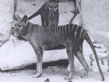 Australian man claims Tasmanian tigers are alive; here's why he could be wrong- Technology News, Firstpost