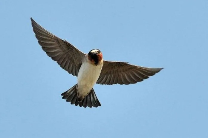 Ontario man aims to save large colony of cliff swallows nesting under bridge set for demolition