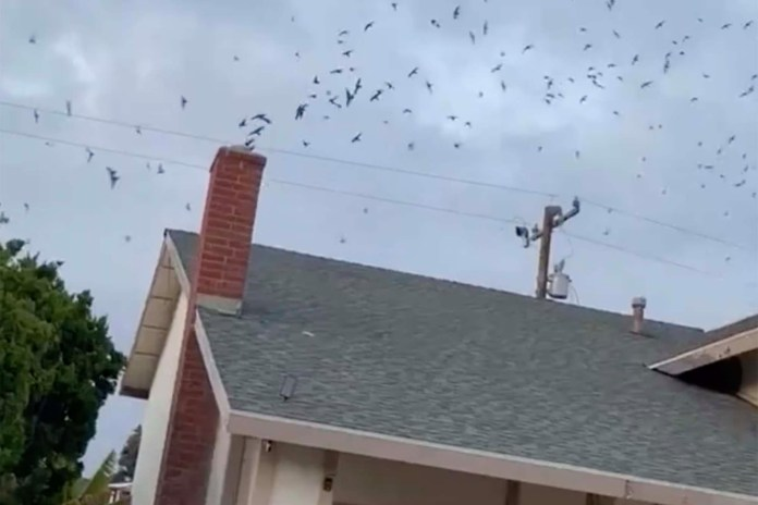 A California family was terrorized by a swarm of hundreds of migrating birds.