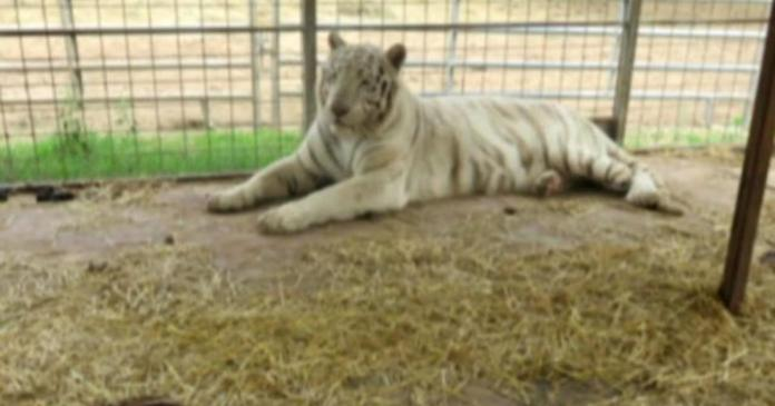 """Feds seize 68 big cats from """"Tiger King"""" animal park"""
