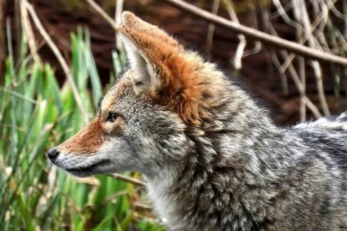 2 children, 1 man attacked by Stanley Park coyotes overnight