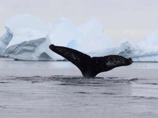 Iceberg Alley en Humpback Whale