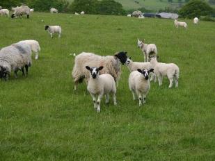 Heel veel schapen in Yorkshire!