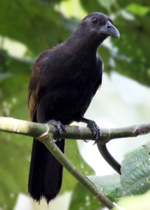 Cendrawasih Gagak Burung Tak Secantik Bidadari  Rahmadi