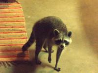Raccoon_mugging