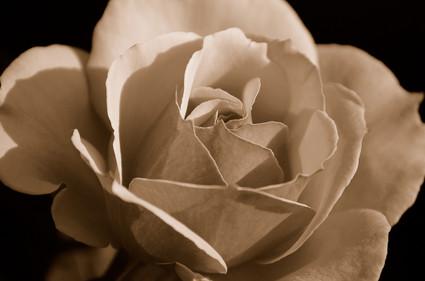 Sepia_rose
