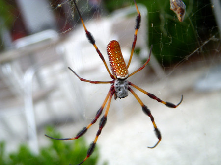 Spotted_spider_front