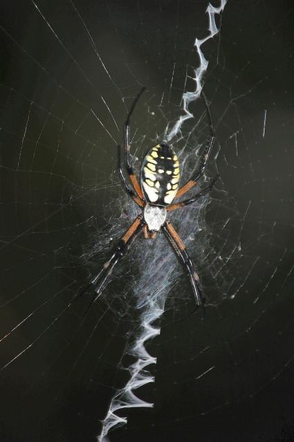 Writing_spider