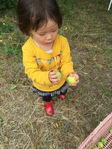 梅の実をとる