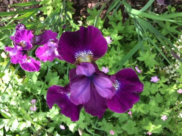 Iris gapskrattar juni -17