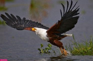 Peregrine-Prairie-falcon-facts-2016-Broad-winged-Hawk-6
