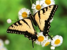 yellow-black-colored-butterfly-taking-honey-from-flowers-wallpaper.preview