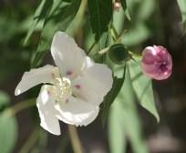 Desert-Cotton-flower
