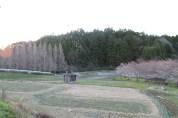 上総亀山 cherry blossom park 3
