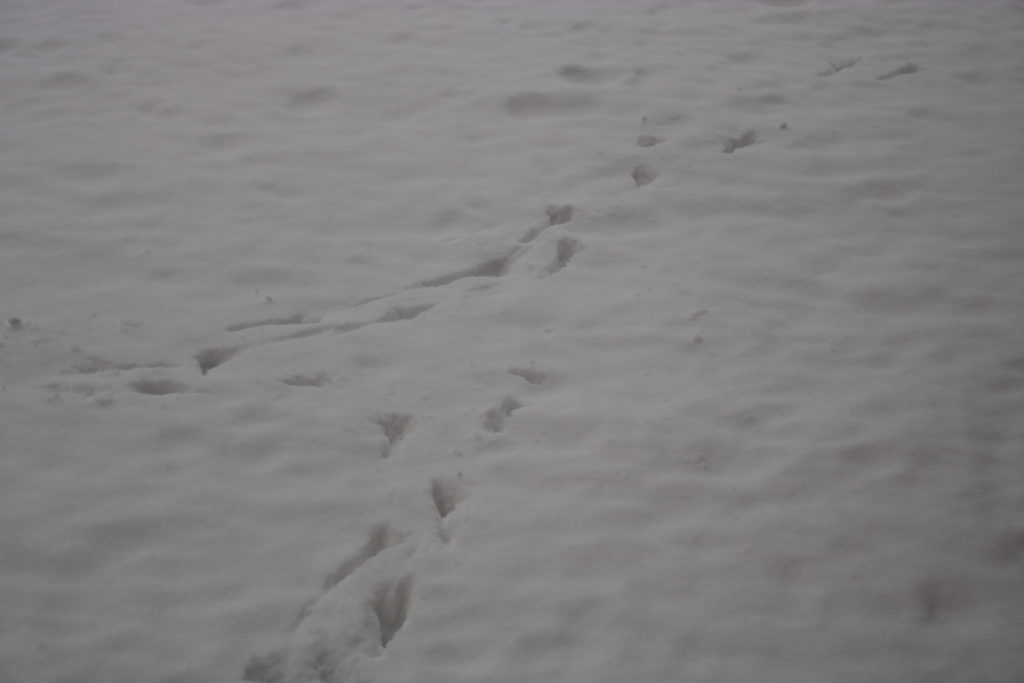 A picture of animal footprints in the snow