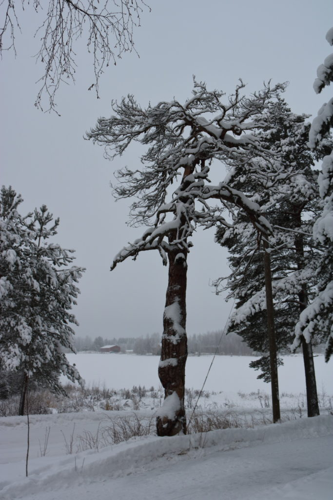 A large pine tree covered in snow