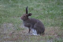 Rabbit tilting its head