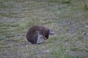 Rabbit on grass being derpy