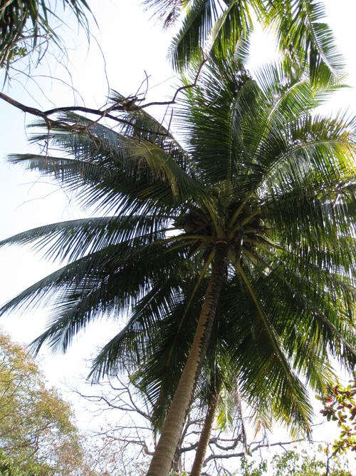 attetion: noix de cocos