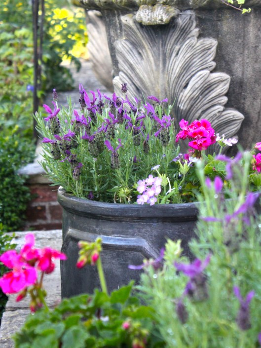 Summer Pots of French Lavender