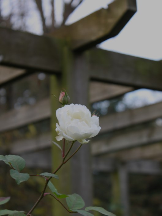 Rose Winchester Cathedral In December