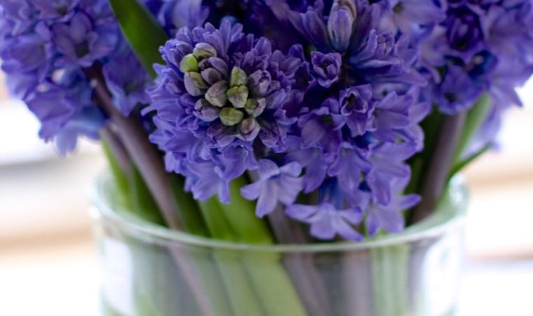 Blue-Hyacinths