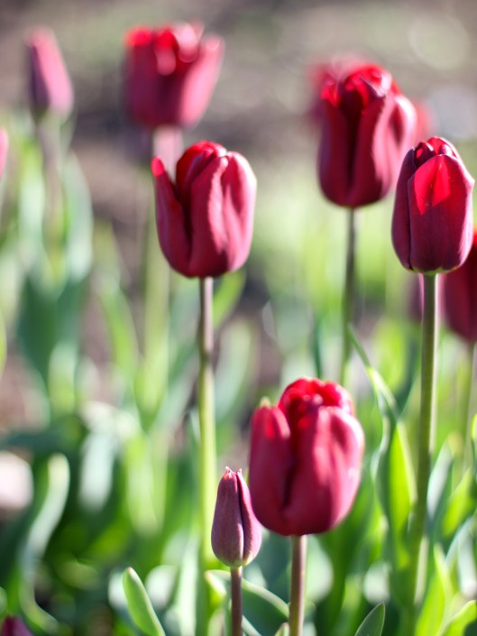 Can Plant Mix Bed What Plant Tulips I