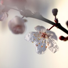 Early-Blossom